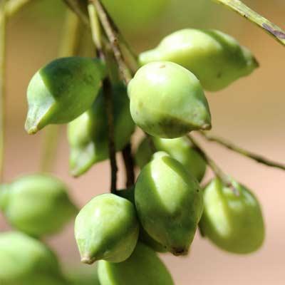 kakadu-plum-gubinge