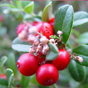 lingon-berry