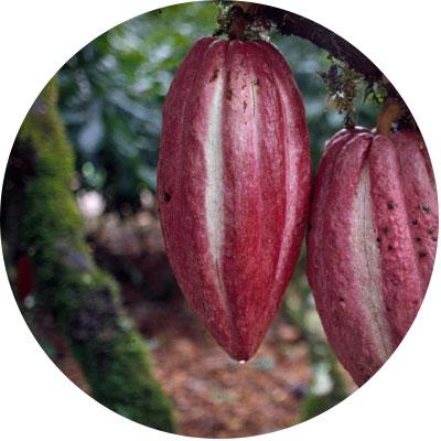 organic-cacao-pod