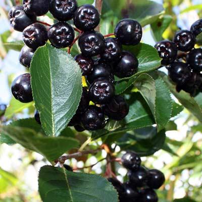 organic-maqui-berry